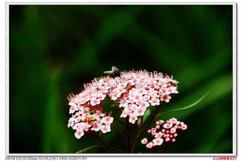 玉山繡線菊 1