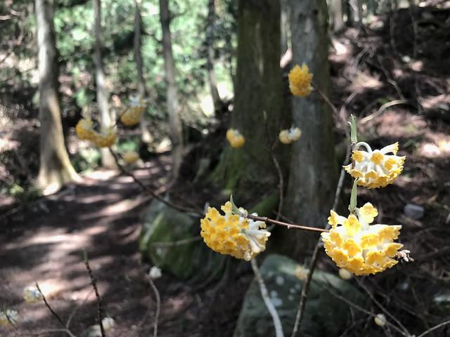 野登山 ミツマタの森ルート ミツマタ