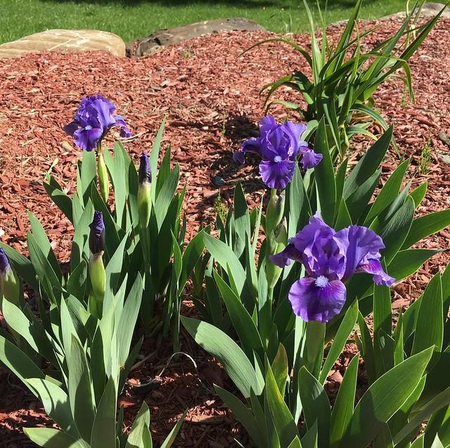More irises...