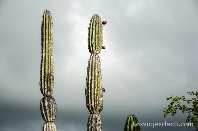 cactus gigantes en isla San Cristóbal