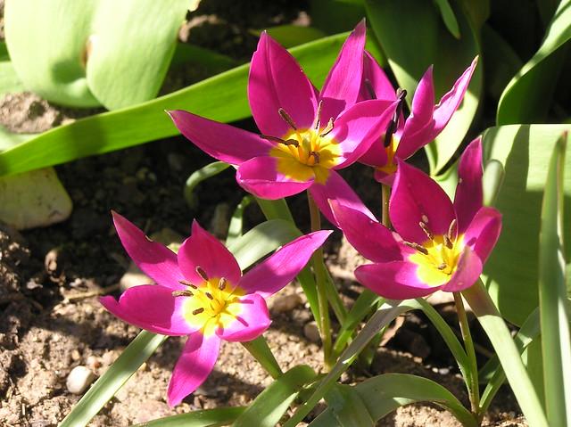 Tulipa humilis 'Violacea Yellow Base'