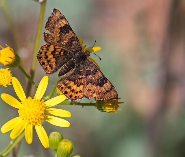 Butterfly-3-7D2-041217