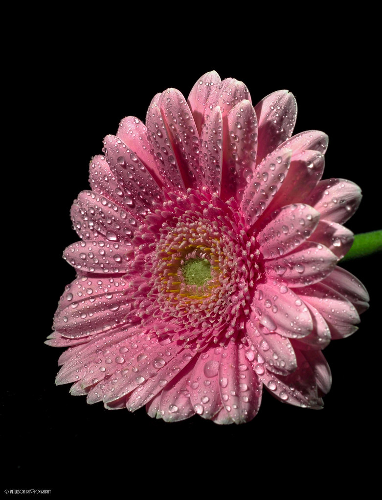 Pink Gerbera Daisy The Flower That Blooms In Adversity I Flickr