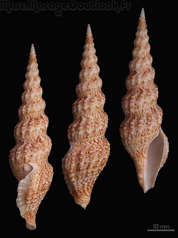 Clathrodrillia flavidula (Lamarck, 1822) ?? 34392355545_4c4cf91db5_c