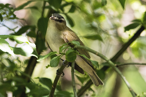 Sandy Hook: Red-eyed Vireo