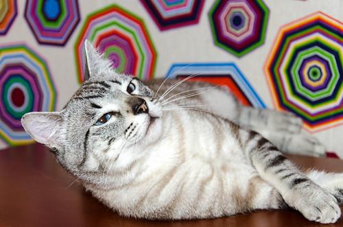 Tango, gato Siamés Tabby de colita corta esterilizado muy guapo, nacido en Enero´16, en adopción. Valencia. ADOPTADO. 34609504205_42ba1f75c6