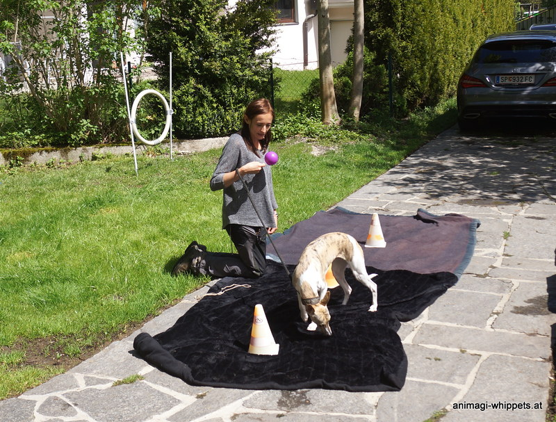 Naima darf machen was sie will, das Frauli muss den Parcour richtig abarbeiten. Hundi sollte nur nicht so fest an der Leine ziehen das der Ball fällt!