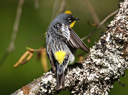 Yellow-Rumped Warbler | by jerrygabby1