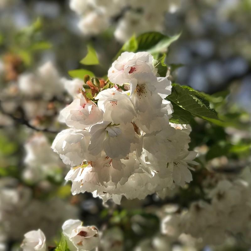 Double Prunus flowers.
