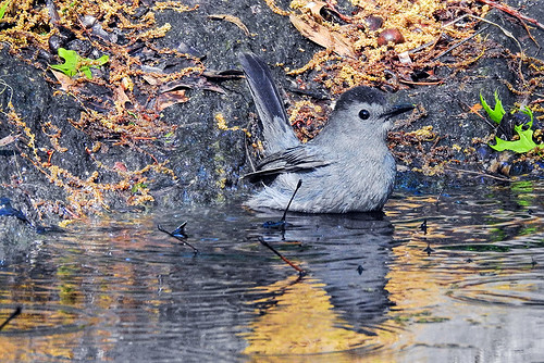 Central Park: Bathing Catbird 2