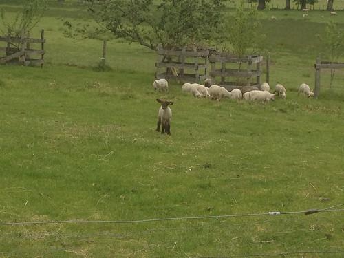 Cute lamb at Zoe's