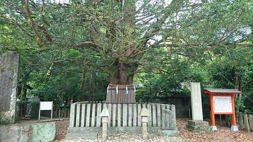 熊野速玉大社・梛の大樹