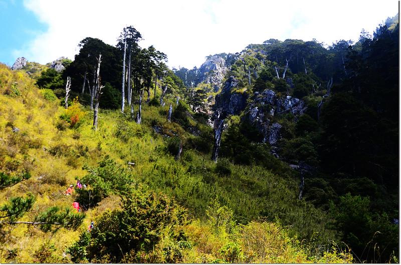 玉山前峰步道白木林 1