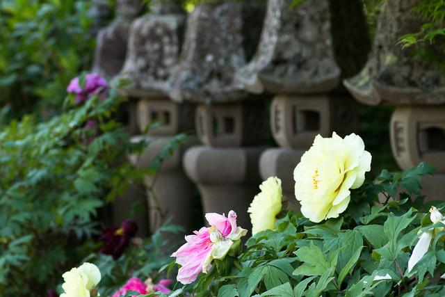 福知山洞玄寺の牡丹