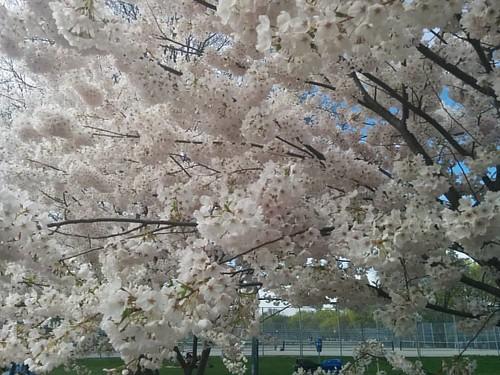 Sakura of Trinity-Bellwoods, 7 #toronto #trinitybellwoods #parks #spring #cherryblossom #sakura