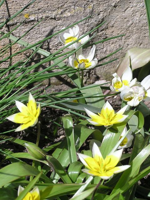 Tulipa tarda & Tulipa polychroma