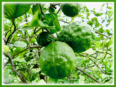Citrus hystrix (Thai Lime, Kaffir Lime, Makrut Lime, Mauritius Papeda) fruiting in abundance, 25 Nov 2011