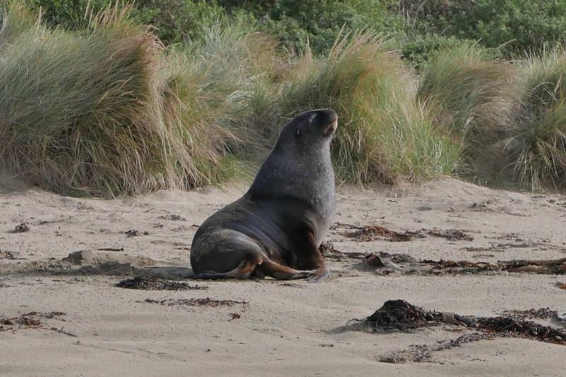 Ein Seelöwe schnappt noch ein paar Sonnenstrahlen auf der Brust bevor es ans dösen geht.