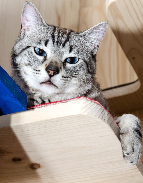 Tango, gato Siamés Tabby de colita corta esterilizado muy guapo, nacido en Enero´16, en adopción. Valencia. ADOPTADO. 34609499265_be02a24717_z