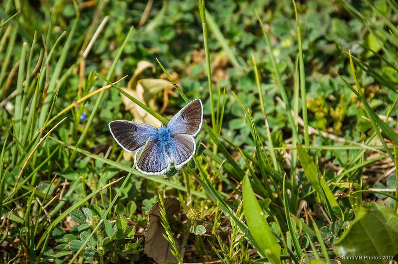 Mariposa del género Polyommatus