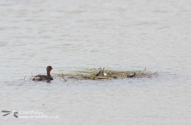 Little grebes trying to save nest and crow raids it-6