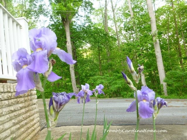 Irises at From My Carolina Home