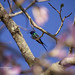 Picaflor tijereta / Swallow-tailed Hummingbird
