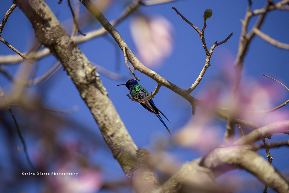 Picaflor tijereta / Swallow-tailed Hummingbird