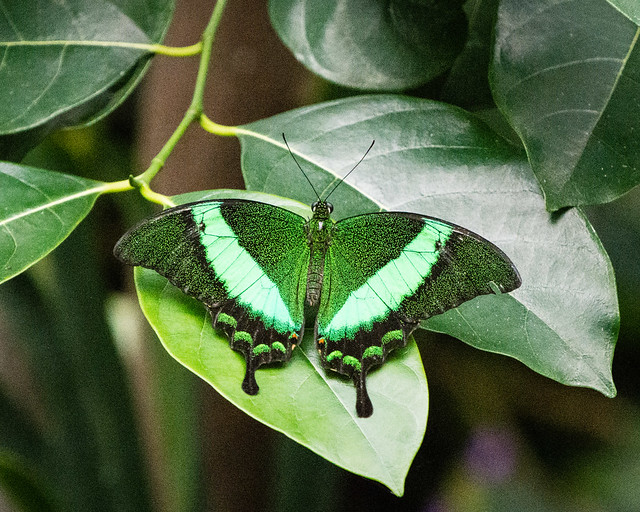 Green Moss Peacock butterfly