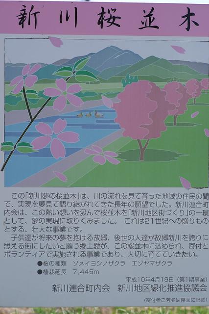 20170504新川さくら並木の桜_03