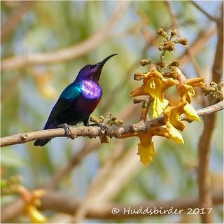 Splenid Sunbird