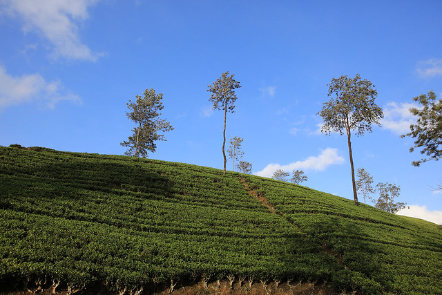 PW-Ceylon-Tea Country7
