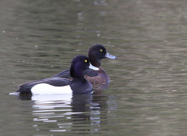 Pair of Tufted Ducks