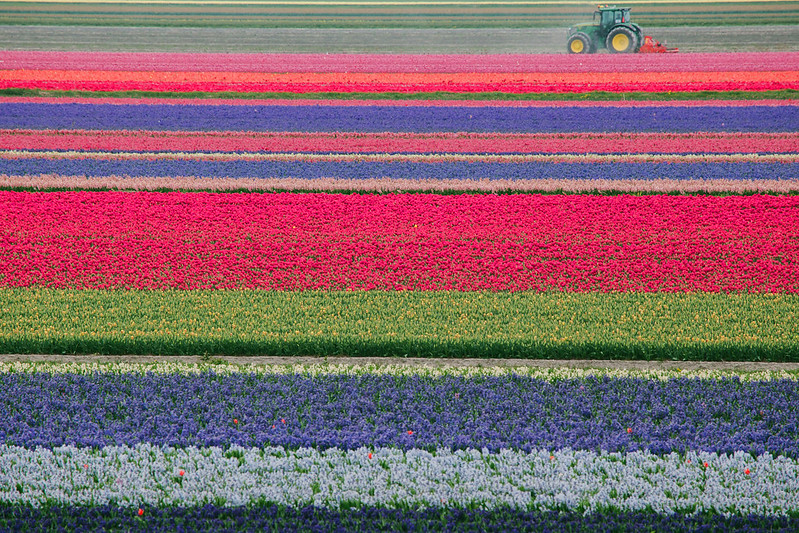 Plantaciones de flores en Holanda
