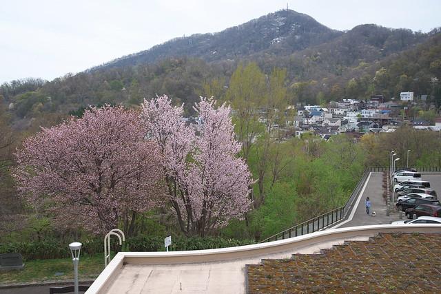 20170505旭山記念公園の桜_06