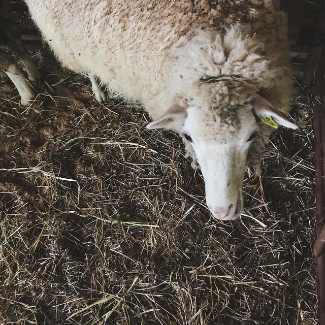 da ovelha ao novelo