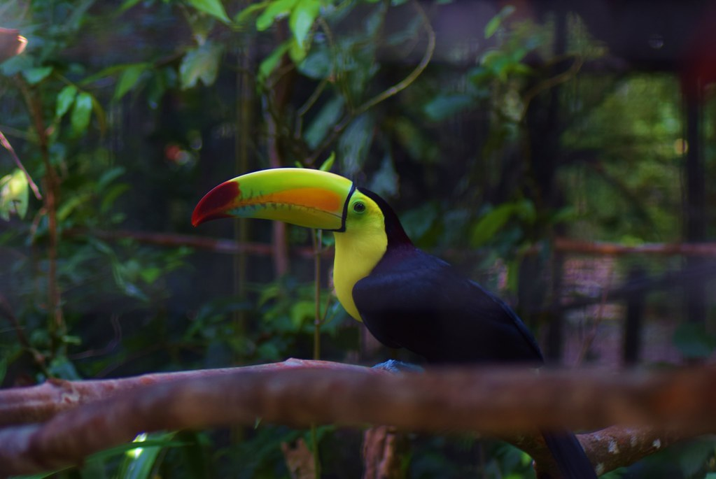 Belize Zoo - the toucan