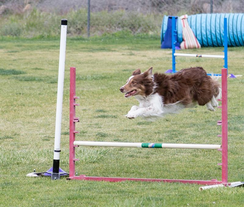 dog_agility_20170507_201