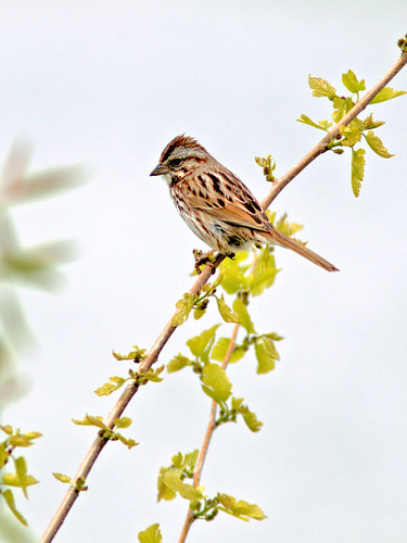 Song Sparrow 20170503