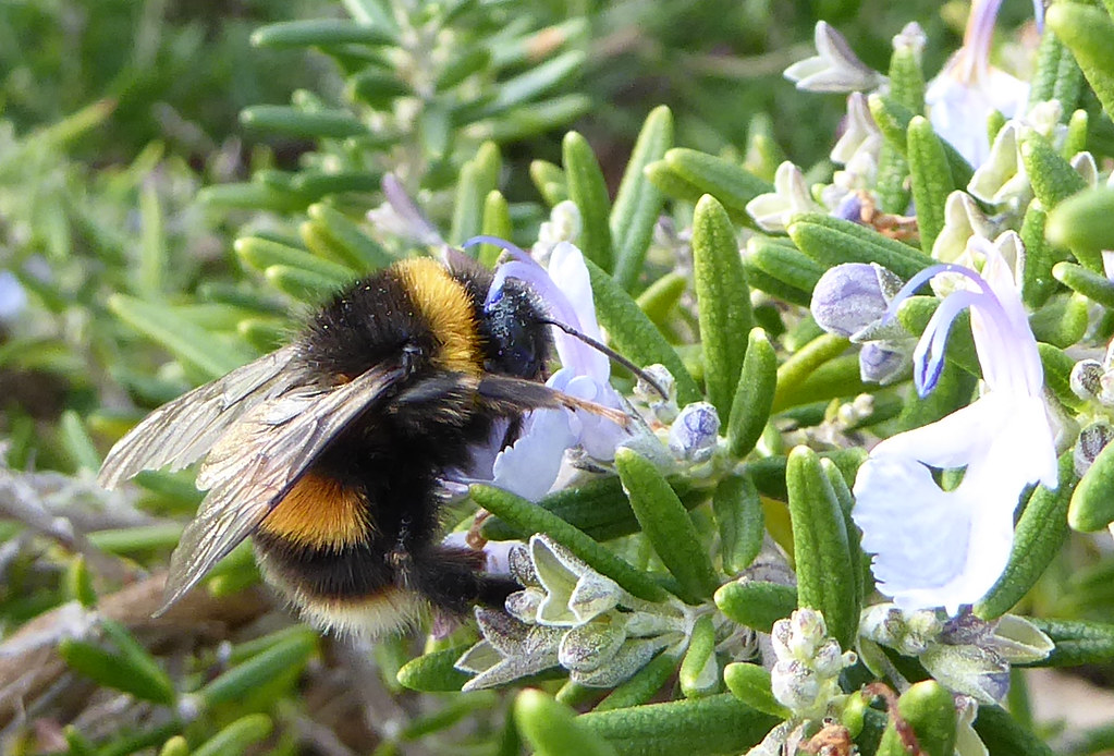 Buff-tailed bumblebee on rosemary
