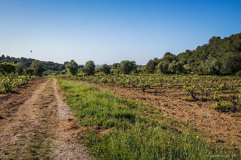Entre los viñedos de Cal Pla