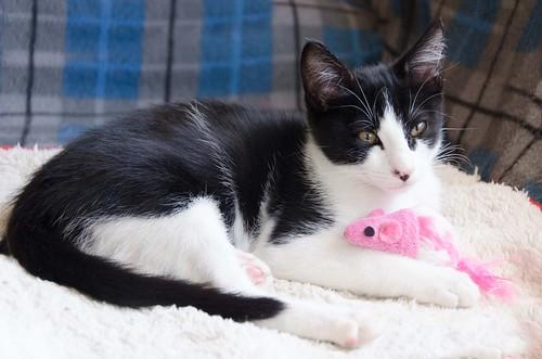 Cloud, gatito blanquinegro megadulce y guapo esterilizado, nacido en Enero´17, en adopción. Valencia. ADOPTADO. 34451017626_244124e9f4