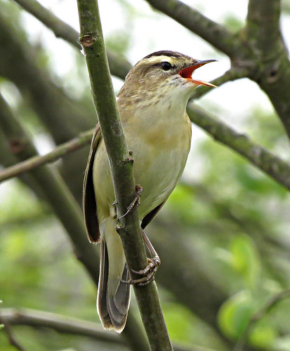 Sedge Warbler Acrocephalus schoenobaenus Tophill Low NR, East Yorkshire May 2017