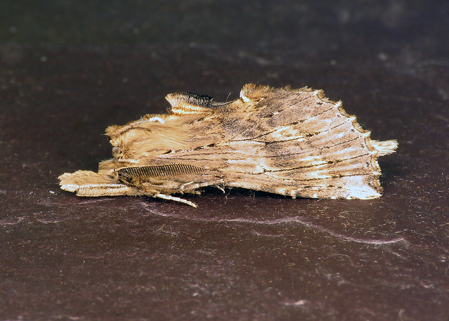 71.020 Pale Prominent - Pterostoma palpina