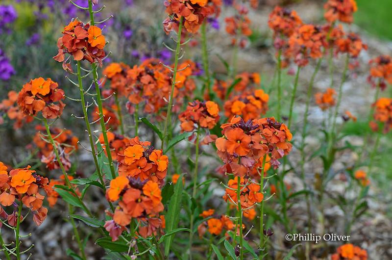 wallflower-erysimum-apricot-twist