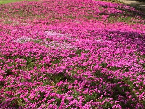 東武トレジャーガーデン 芝桜