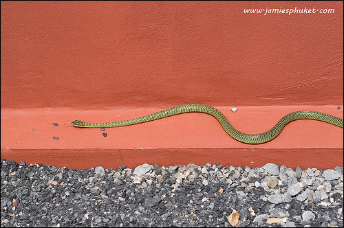 Golden Tree Snake in our garden
