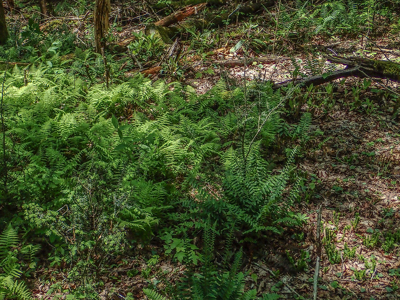 Small Whorled Pogonia habitat