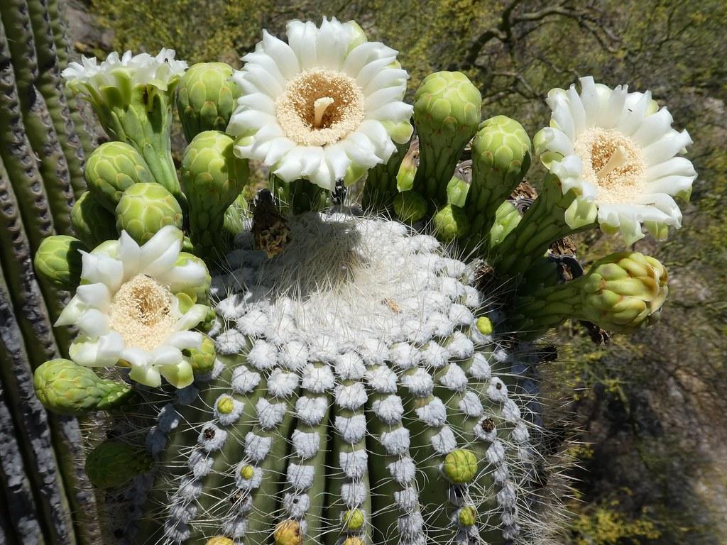 Ironwood Forest |Saguaro Cactus Flowers