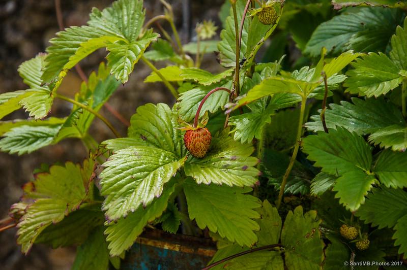 Fresas madurando